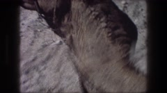 1976: two haltered camels on dry sand BETHLEHEM ISRAEL Stock Footage