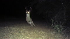 Whitetail Deer Buck Flees to Safety Stock Footage
