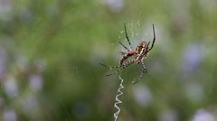 Spider cracks down with the fly. Part 1: The spider attacking a fly Stock Footage