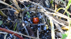 Ladybug in hoarfrost Stock Footage