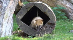 4k South American coati looking out of a human-made tree hole Stock Footage