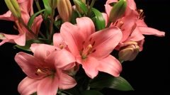 Lily flower opening time lapse opening in a bouquet Stock Footage