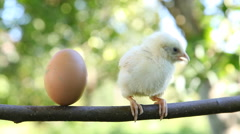 Little cute chick and egg Stock Footage