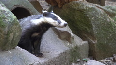 4k European badger looking carefully out of stoney hole between rocks Stock Footage