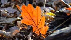 Oak leaf in the forest Stock Footage
