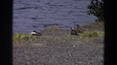 1964: a group of birds resting on the ground at the edge of a lake WASHINGTON Stock Footage