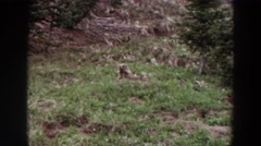 1964: paranoid groundhog looking around from his den on a grassy hillside Stock Footage