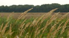 Long dry grass swing in wind Stock Footage