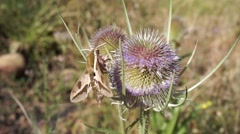 Moth extracting nectar from a thistle Stock Footage