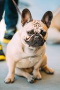 French Bulldog is small breed of domestic dog Stock Photos