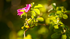 Natural sunny spring background with wild rose flowers Stock Footage