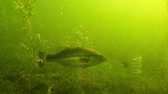 Largemouth Bass Underwater Swimming in a Weedy Lake Stock Footage