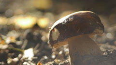 Penny bun mushroom growing in forest soil Stock Footage