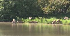 Pere Davids deer, Elaphurus herd plunges into the lake Stock Footage
