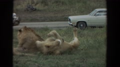 1974: lion flirts with pride in drive through park IRVINE CALIFORNIA Stock Footage