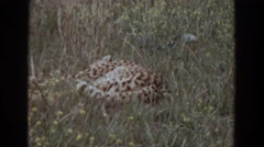 1974: when leopards rule the land. IRVINE CALIFORNIA Stock Footage