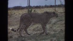 1974: beautiful leopard walking along a fence nature best IRVINE CALIFORNIA Stock Footage