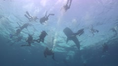 Many divers and whale shark Stock Footage