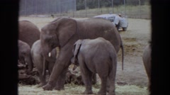1974: elephants enjoying a casual day. IRVINE CALIFORNIA Stock Footage