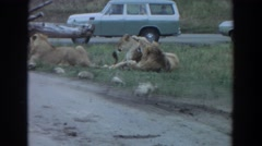 1974: lions laying out in the grass. IRVINE CALIFORNIA Stock Footage