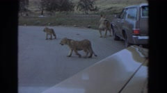 1974: prowling lions on the street, followed by grazing rhinos IRVINE CALIFORNIA Stock Footage