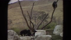 1974: monkeys in their natural habitat. IRVINE CALIFORNIA Stock Footage