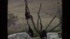 1974: some chimpanzees climbing a dead tree on the savanna IRVINE CALIFORNIA Stock Footage