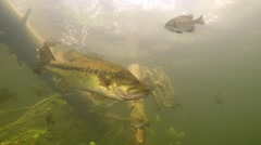 Largemouth Bass Underwater Under Sunken Timber Stock Footage