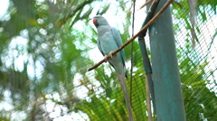 KL Bird Park. Indian Ringneck Parakeet (Psittacula krameri). Stock Footage