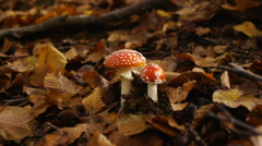 Poisonous amanita muscaria mushrooms in autumnal forest undergrowth Stock Footage