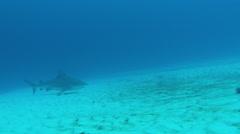 Bull Shark prowls seafloor Stock Footage