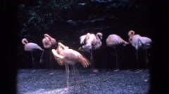 1958: pink flamingos rest in park FLORIDA Stock Footage