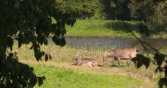 Pere David's deer,  Elaphurus or Milu, hind lies down at lakeside Stock Footage