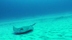 Manta ray glides on seafloor Stock Footage