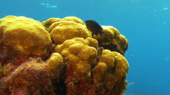 Black fish swims by bubbly yellow coral Stock Footage