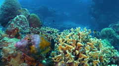 Funny toothed tropical yellow fish swims by in closeup Stock Footage