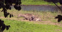 Pere Davids deer, Elephurus two hinds ly down, side by side, one hind stands up Stock Footage