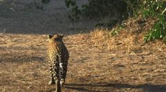 A leopard walking away from the camera in masai mara, kenya Stock Footage