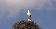 Pair of white storks clattering on nest Stock Footage