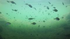 School of Bluegill Sunfish Stock Footage