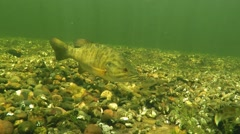 Smallmouth Bass Guards Nest With Fry Stock Footage