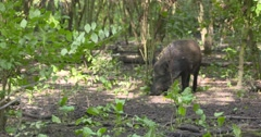 Wild Boar (sus scrofa) roaming in forest Stock Footage