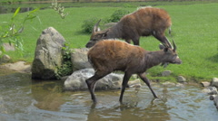 Two sitatunga by pond in the zoo or nature reserve Stock Footage