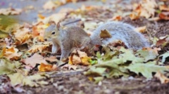 Squirrel Looks and Finds Acorn Nut in Leaves Stock Footage