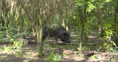 European Wild Boar (sus scrofa) razorback, boar roaming in forest Stock Footage