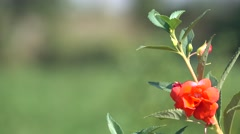 4K Red Orange Flower with Buds Bokeh Nature Background Stock Footage