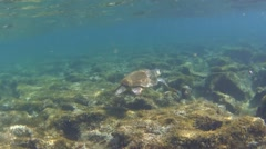 Green sea turtle (Chelonia mydas) floating over rocky ground Stock Footage