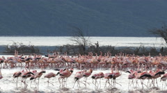 Wide view of flamingos appearing to march at lake bogoria Stock Footage
