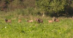 Mouflon, ovis aries orientalis, herd grazing in field Stock Footage