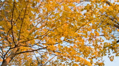 Yellow and Golden Fall Foliage in New England, Leaves, Low Angle Stock Footage